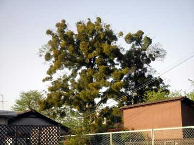 おびただしいヤドリギの木