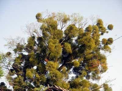 ヤドリギのある木