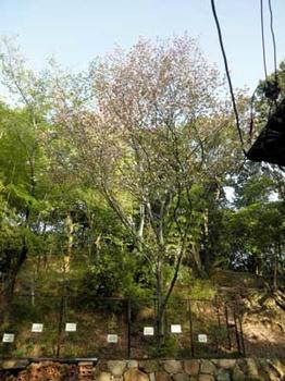 奈良の八重桜原木:知足院にて
