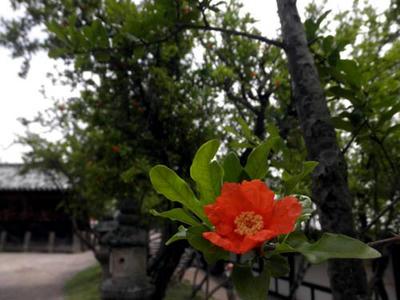 二月堂の下に咲いている石榴の花