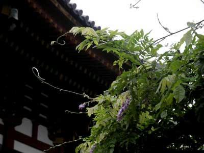 返り咲きの藤:興福寺にて