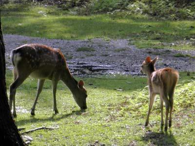 東大寺西塔の辺りにいた鹿