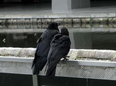 妙に絵になる二羽の鴉