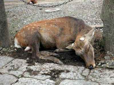角も切られてダレた牡鹿