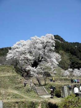 満開の千年桜