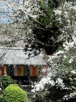 他の種類の桜も咲いています。