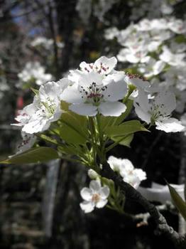 満開の山梨の花