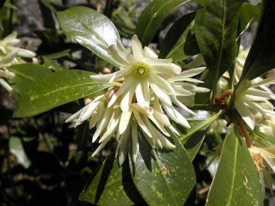 地味に花盛りのシキミ
