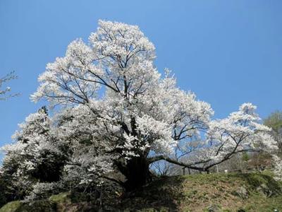 千年桜はモチヅキサクラという種類だそうです。