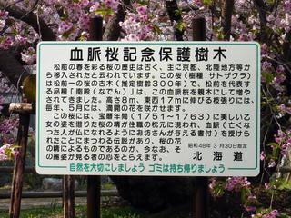 松前公園 血脈桜