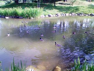菖蒲池のカモ