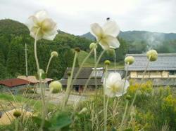 東を向く秀明菊
