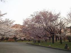 植物園桜1