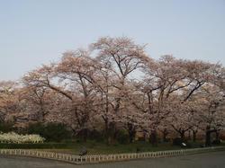 植物園桜2