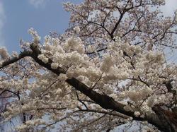 京都市植物園で見つけた白い桜