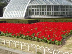 植物園のチューリップ