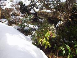 雪の朝。庭のマンリョウ。