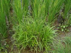 雑草中の稲