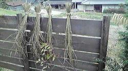 稲の干し方