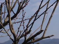 梅の芽吹き2