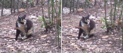 保護色の猫交差法立体画像