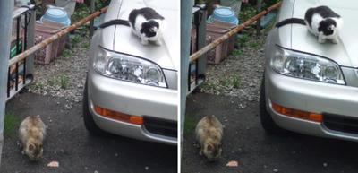 茶猫と餌を狙う黒猫交差法立体画像