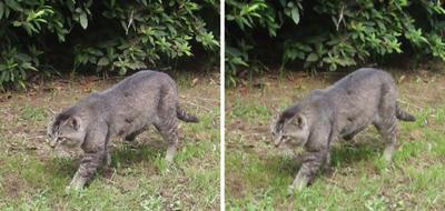 散歩中の猫交差法立体画像