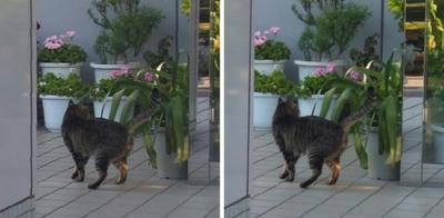 後ろ髪を引かれる猫 交差法立体画像