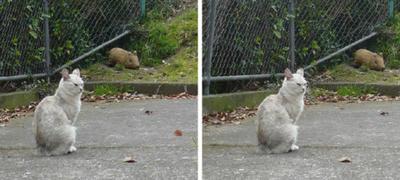 ネコと猪(うりぼう)平行法立体写真