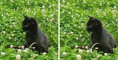 クローバーと黒猫 平行法3D写真