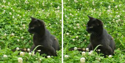 クローバーと黒猫 交差法立体画像