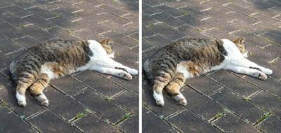 死んだフリするネコ 交差法立体画像