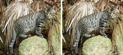野生の山猫っぽいノラ猫 平行法3d立体写真