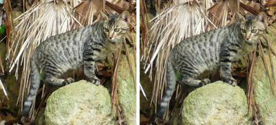 野生の山猫っぽいノラ猫 交差法3dステレオ写真