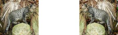 野生の山猫っぽいノラ猫 ミラー法立体3D写真
