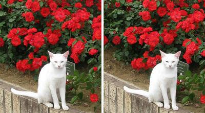 バラ(薔薇)と白猫 平行法3Dステレオ立体写真