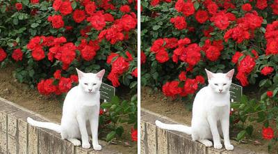 バラ(薔薇)と白猫 交差法ステレオ立体視3D写真