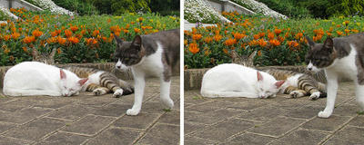 寝ている前を横切る猫 平行法ステレオ立体視3D写真