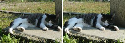 酔いつぶれたように寝ている猫 交差法ステレオ立体視3D写真