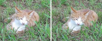 芝生を食べる猫 平行法3Dステレオ立体写真
