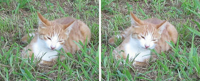 芝生を食べる猫 交差法ステレオ立体3D写真