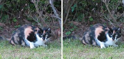 ジッと何かを見る猫 平行法3Dステレオ立体写真