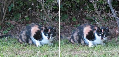 ジッと何かを見る猫 交差法ステレオ立体3D写真