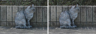 保護色猫 交差法3D立体ステレオ写真