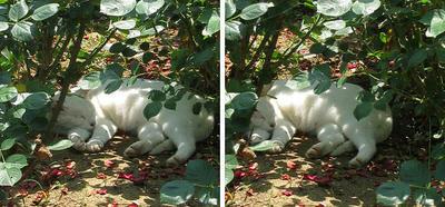 草陰で寝る猫 交差法3D立体ステレオ写真