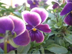2004 Viola