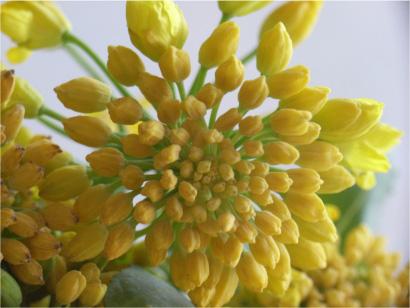 キョウノコト。菜の花。