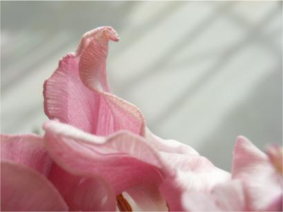 Tulipa ウィットピクチャー