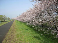 Road of cherry blossoms.JPG