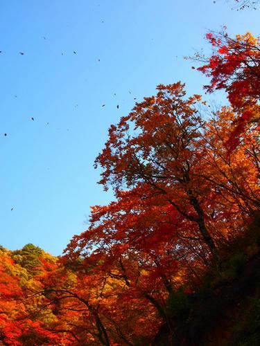 ちょっと風が吹くと葉が舞う。もう終わりかけってことですかね。
